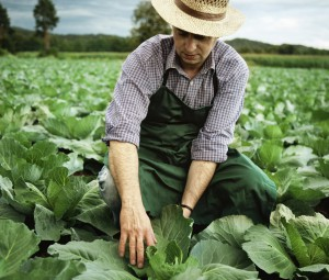 farmer at his cabbage field checking harvest